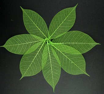 10cm Skeleton Leaves Lime Pack of 100