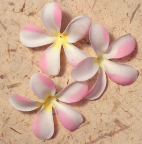 100 Frangipanis - 7cm White and Pink