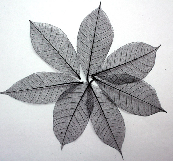 **NEW** 7.5cm  Skeleton Leaves Black Pack of 100