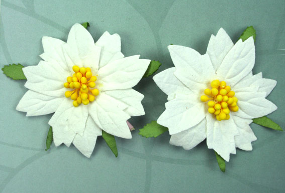 100 Large Poinsettias 7cm White Yellow Centers