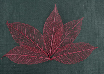 5cm Skeleton Leaves Burgundy Pack of 100