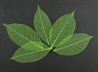 5cm Skeleton Leaves Lime Pack of 100