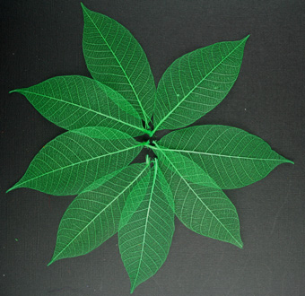 7.5cm Skeleton Leaves Jade Pack of 100