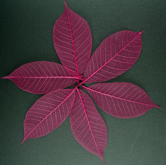 10cm Skeleton Leaves Burgundy Pack of 100