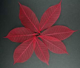 10cm Skeleton Leaves Red Pack of 100