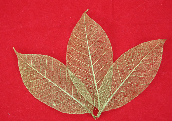 7.5cm Skeleton Leaves Gold Pack of 100